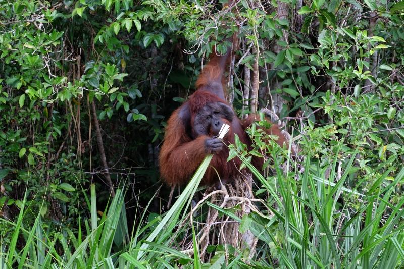 保護印尼雨林 紅毛猩猩的避難所