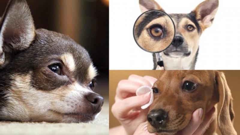 點解狗狗經常流眼淚?5大原因及處理方法主人要知
