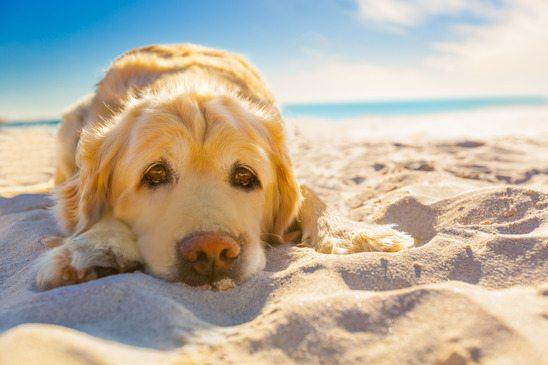 狗狗中暑有咩癥狀?狗奴必學防治方法